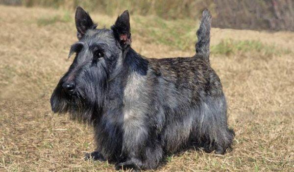 razas de perros pequeños scottish terrier