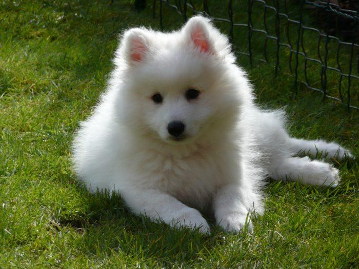 spitz japones razas de perros pequeños blancos