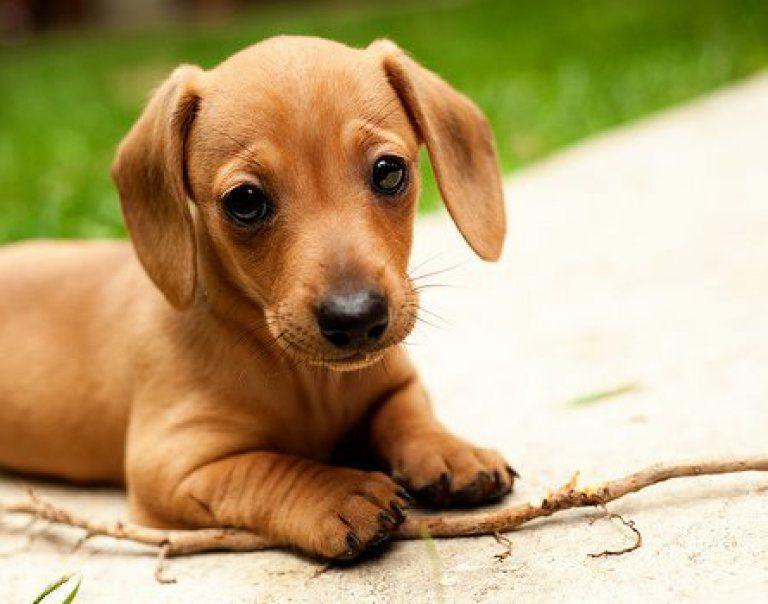 teckel perro salchicha dachshund