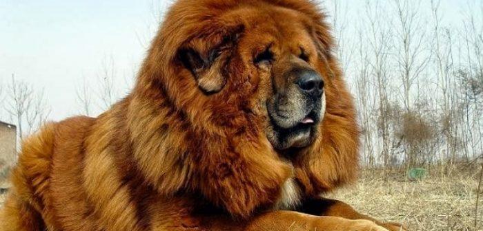 todo lo que debes saber acerca de las razas de perros chinos