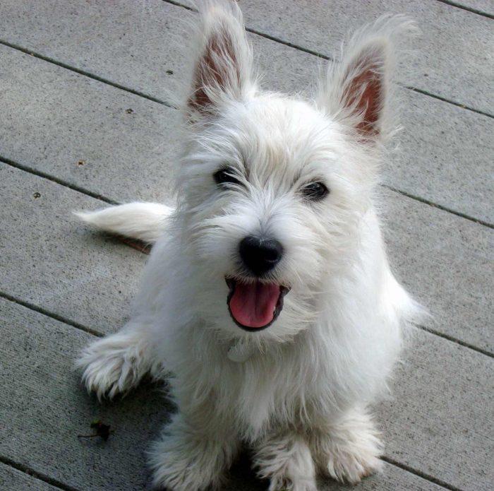 west highland razas de perros pequeños blancos