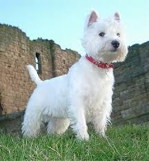 razas de perros pequeños westie west highland white terrier