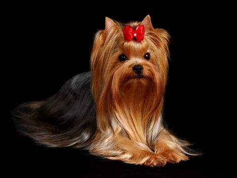 razas de perros pequeños yorkshire terrier toy