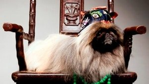 razas de perros pequeños chinos
