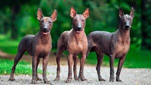 razas de perros pequeños sin pelo