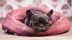 razas de perros pequeños y tranquilos