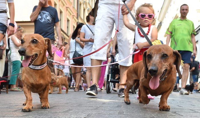 2 perros salchicha de paseo con sus amos