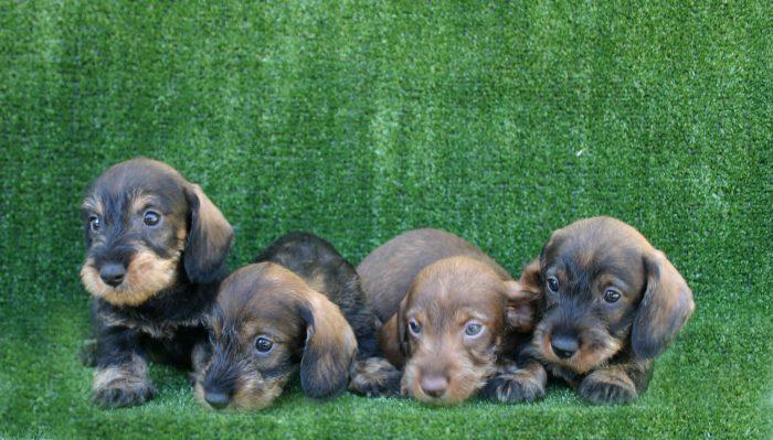 4 cachorros teckel miniatura