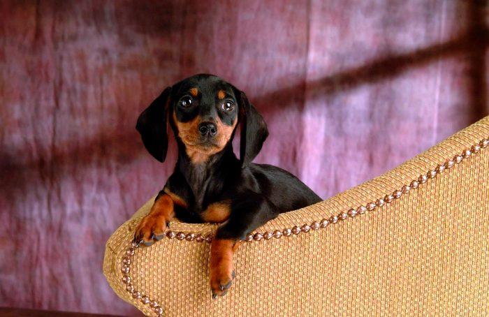 cachorro teckel descansando sobre un sillón