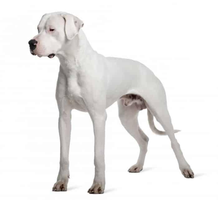 imagen de un dogo argentino sobre fondo blanco
