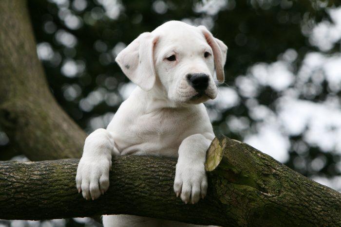 pequeño dogo argentino apoyando sus patas sobre una rama