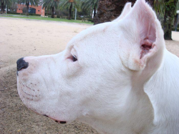 rostro de un dogo argentino con sus orejas cortadas