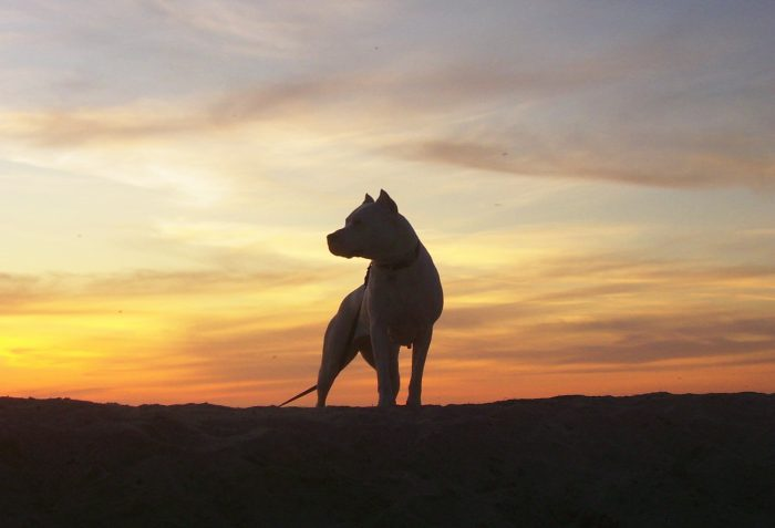 silueta de un dogo argentino al atardecer