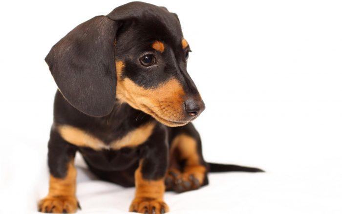 vista frontal de un teckel negro cachorro