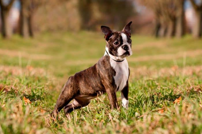 boston terrier de paseo en el campo