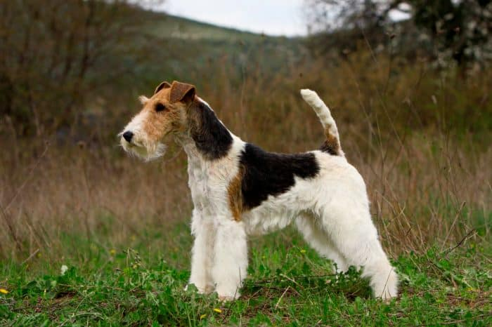 fox terrier de pelo duro vista lateral