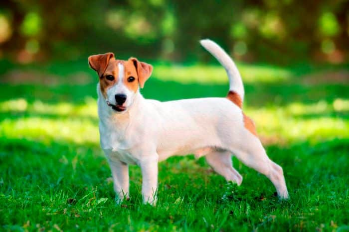 jack russell terrier sobre césped