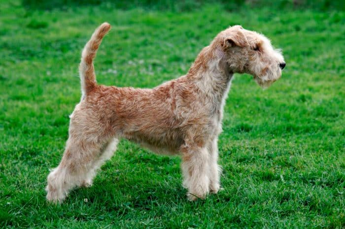 lakeland terrier vista lateral