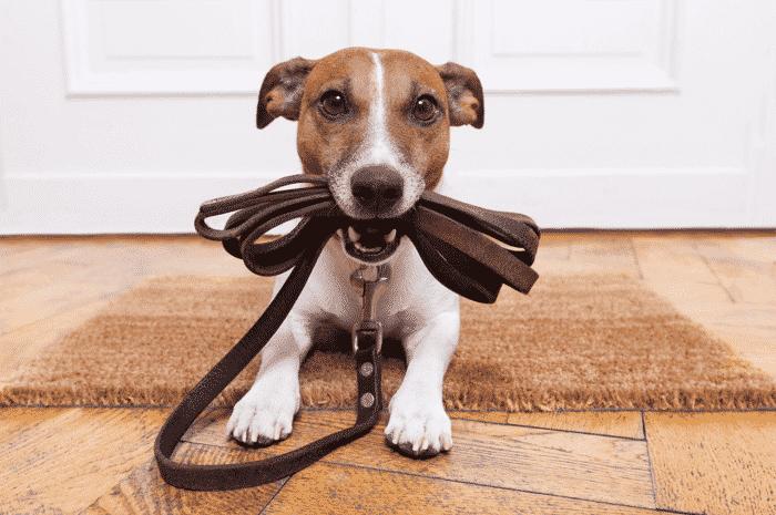 perro sujetando su correa preparado para salir de paseo