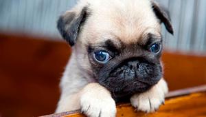 Carlino – Pug (perro)