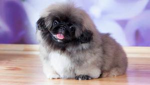 Pekinés (perro)