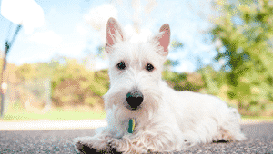 Scottish Terrier (Terrier escocés)