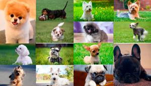 Todo sobre las razas de perros pequeños