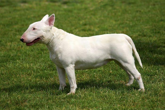bull terrier miniatura vista lateral sobre césped