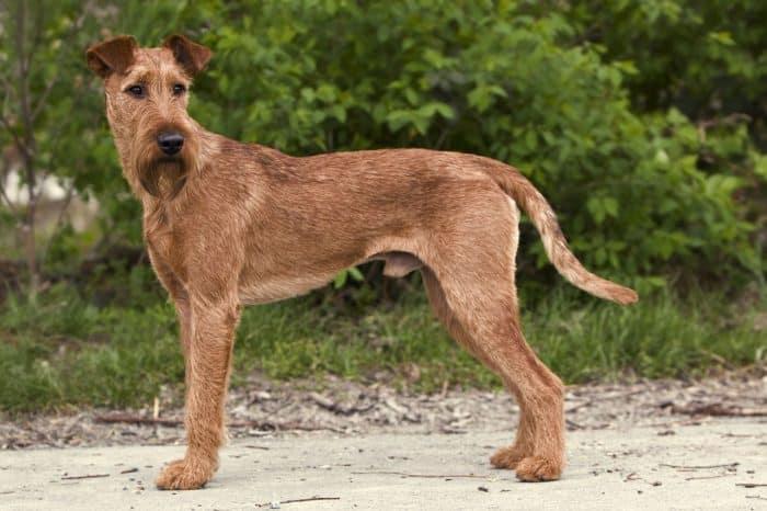 irish terrier irlandes vista lateral en un camino rural