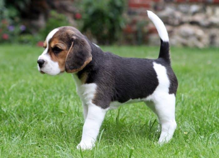 beaglier cachorro sobre césped