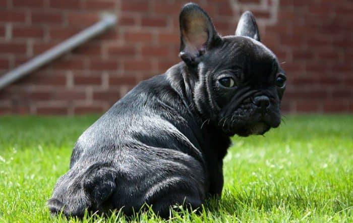 bulldog frances negro de espalda mirando al fotógrafo