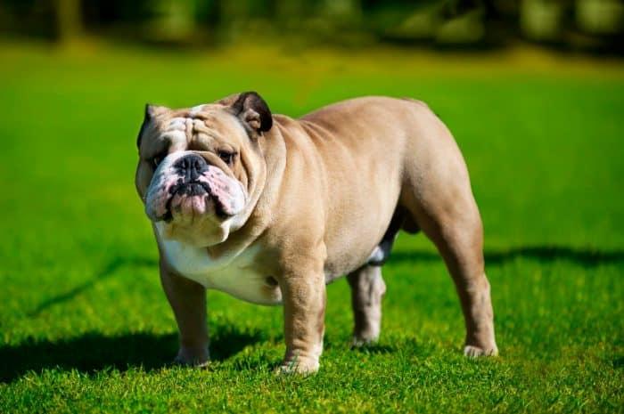 bulldog parado sobre césped