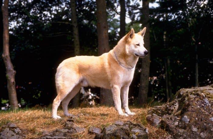 cannan dog de paseo en el bosque