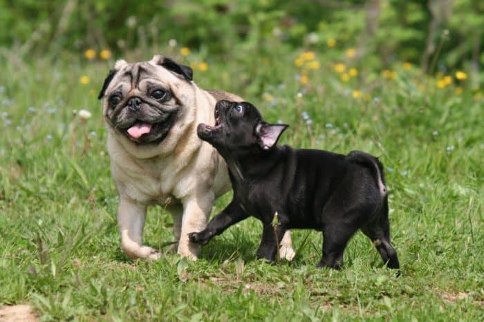carlino pug jugando con un cachorro negro