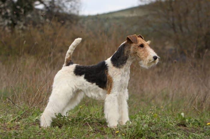 fox terrier vista lateral en un campo