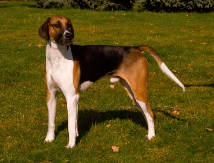 foxhound parado sobre césped vista lateral