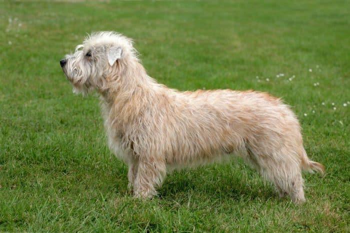 glen of Imaal terrier de costado parado sobre césped