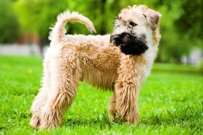 irish soft coated wheaten terrier de costado parado sobre césped