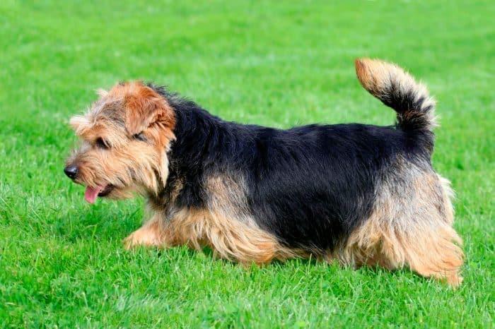 norfolk terrier vista lateral sobre césped