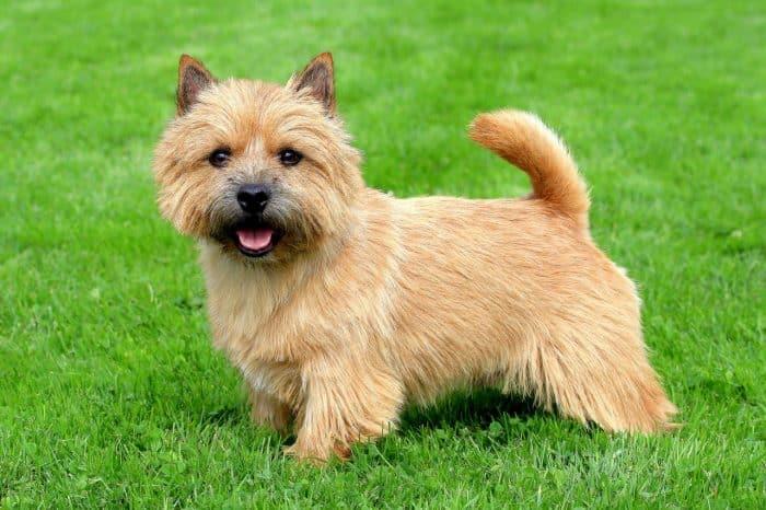 norwich terrier vista lateral sobre césped