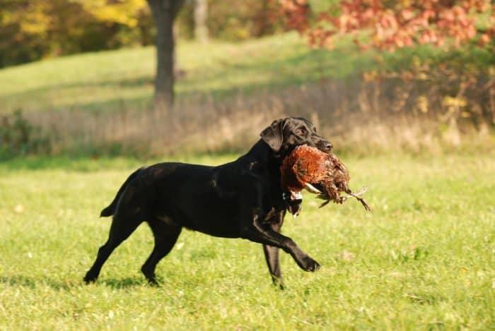 perro cazador con una presa en el hocico