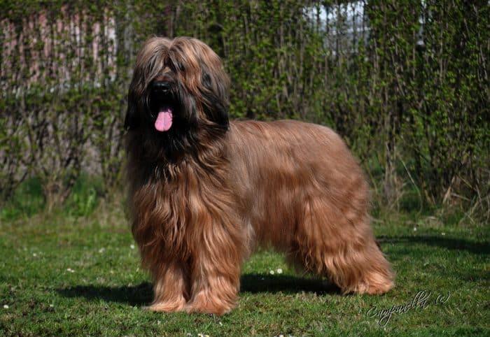 perro de pastor de brie parado sobre césped en un patio vista lateral