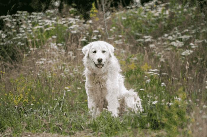 perro de pastor de maremma sentado entre flores silvestres