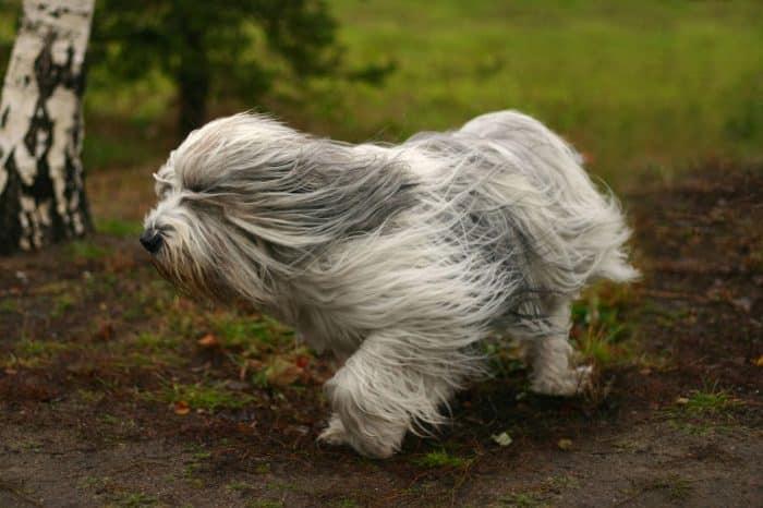 perro de pastor polaco trotando en el bosque