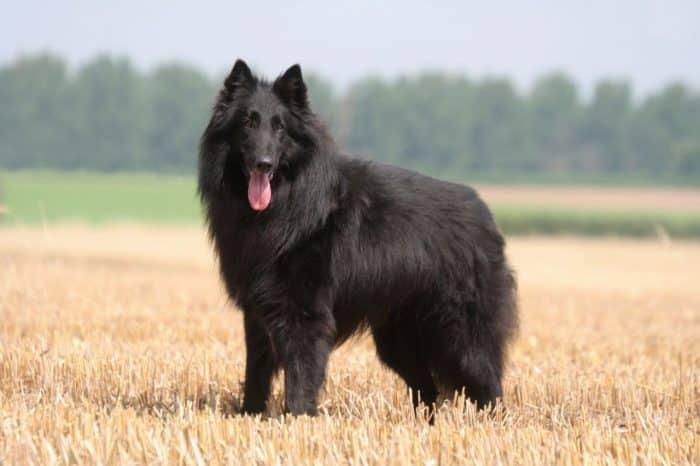 perro pastor belga parado en una pradera vista lateral