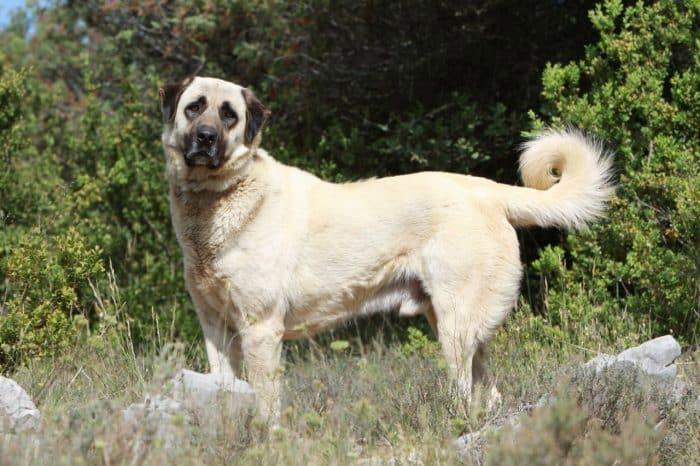 perro pastor de anatolia de excursión en la montana
