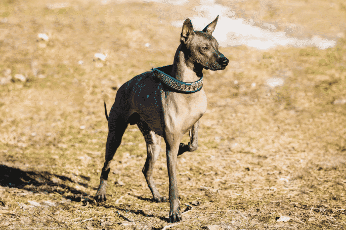perro sin pelo mexicano observando la inmensidad