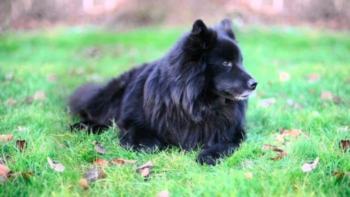 perro sueco de laponia reposando en el prado