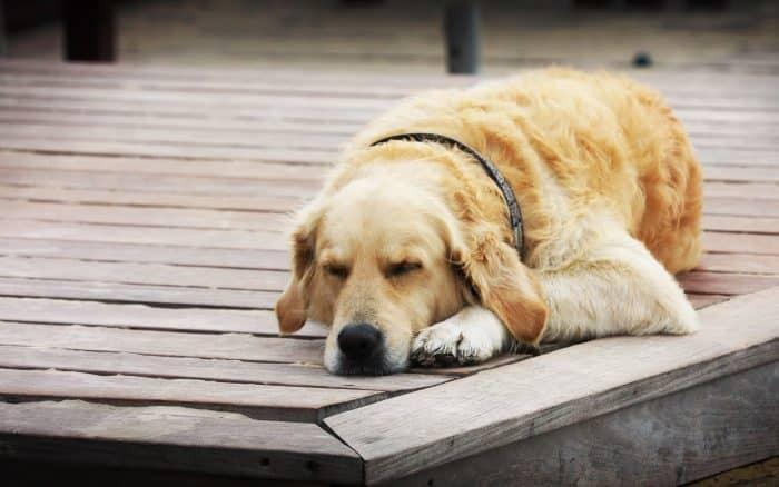 razas de perros tranquilos
