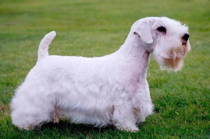 sealyham terrier vista lateral sobre césped